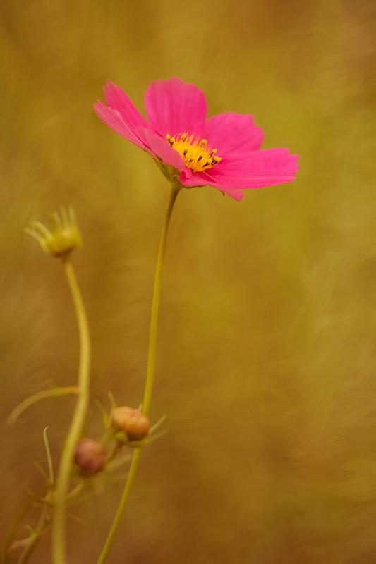 Bright Pink Cosmos
