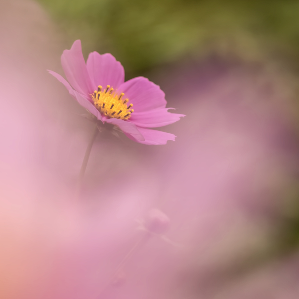 Pink Cosmos  shooting through