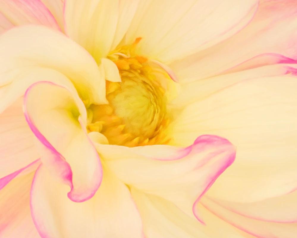 Pink & White Dahlia Macro
