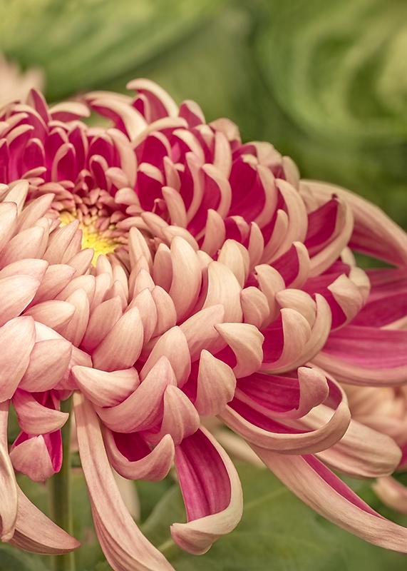 Pink Chrysanthemum