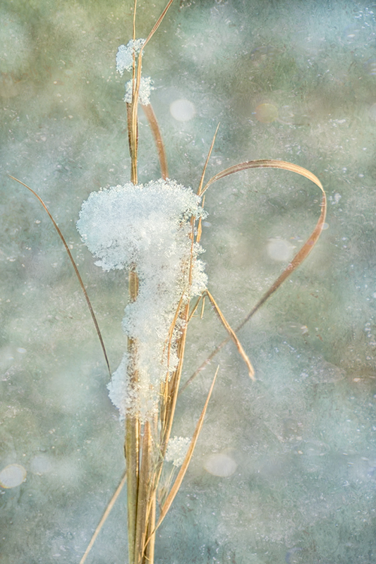Grasses with Snow