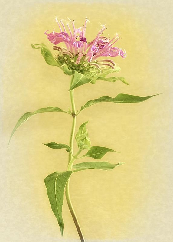 Bergamot, violet Bee Balm,