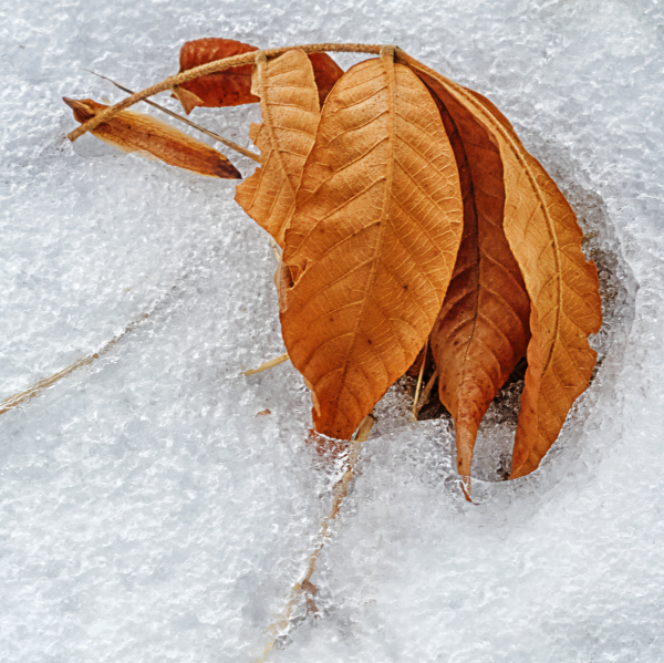 Beech leaf in snow