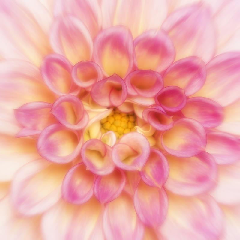 Pink & Yellow Dahlia