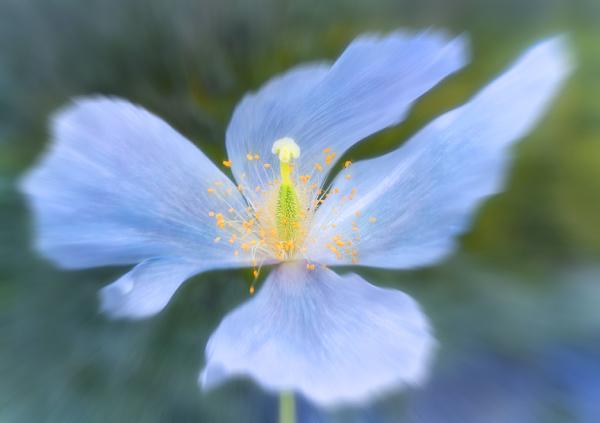 Blue Poppy 3