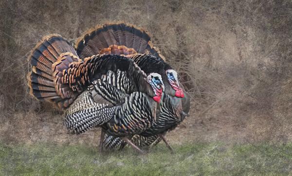 Strutting Turkeys
