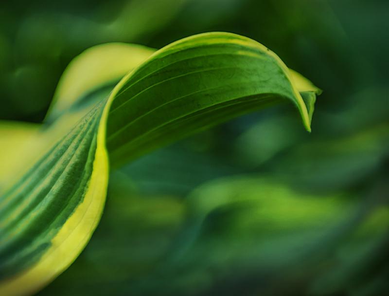 Aminus3 Featured photo Hosta Leaf 2 | 24 June 2018