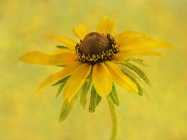 Black Eyed Susan 2