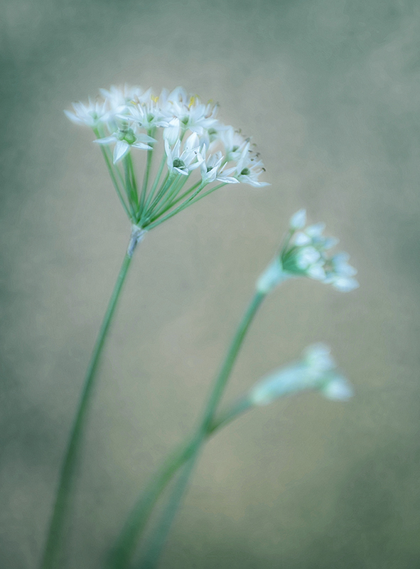 Garlic Chives 2