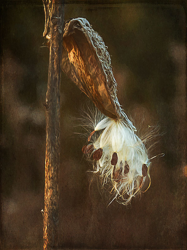 milkweed pod and seeds