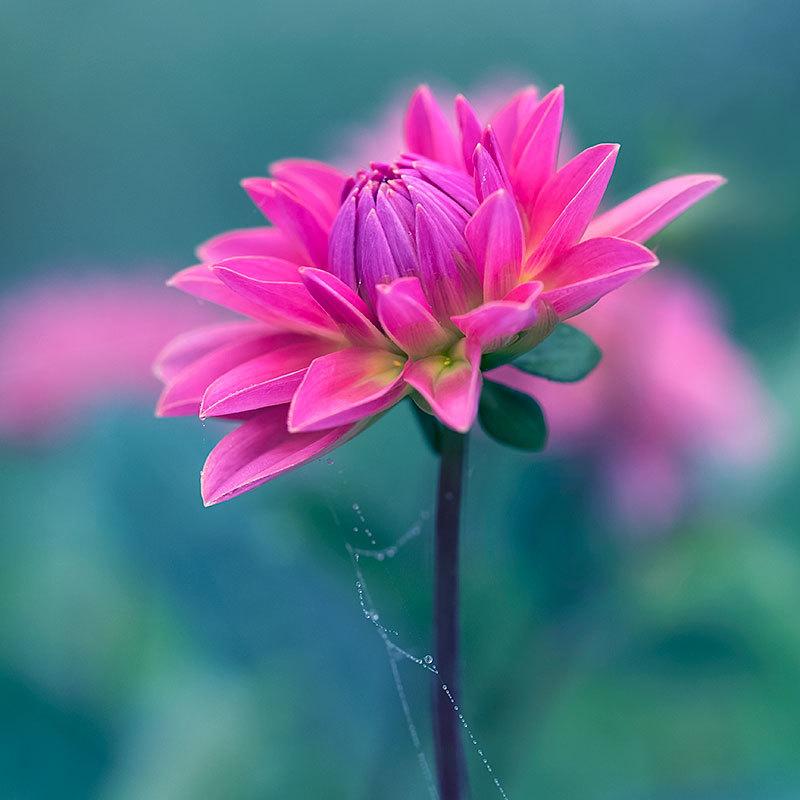 Pink & Lavender Dahlia