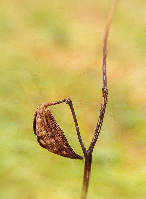 winter milkweed seed pod