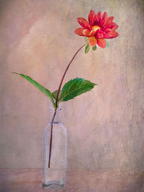 Red Dahlia in Vase