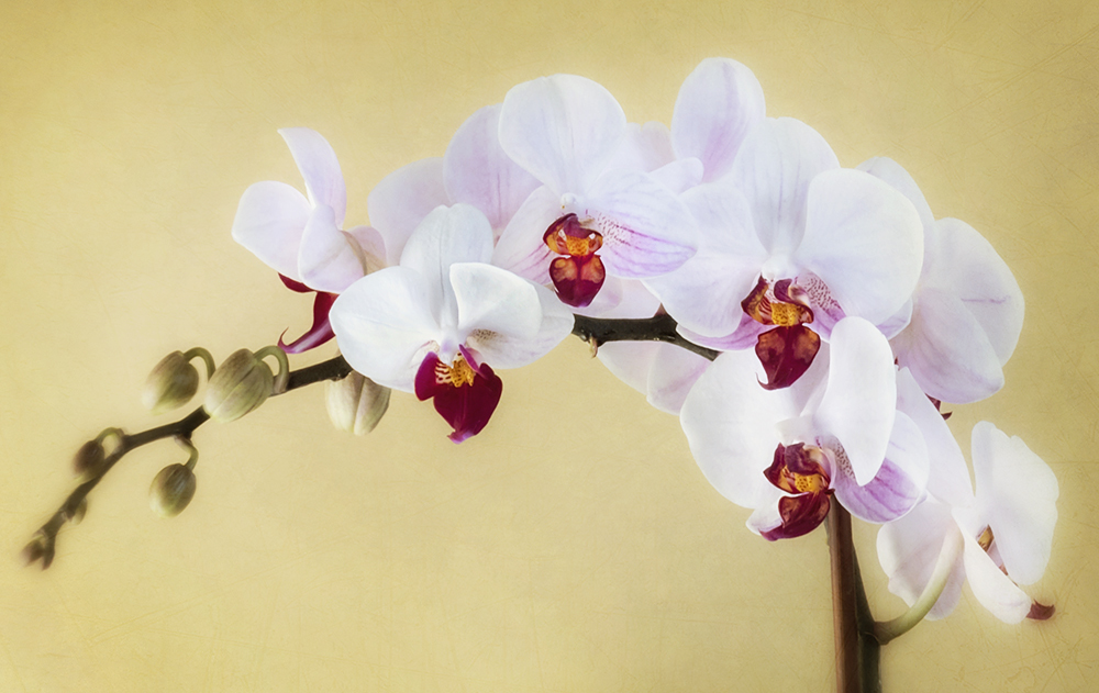 Stephanie's orchid