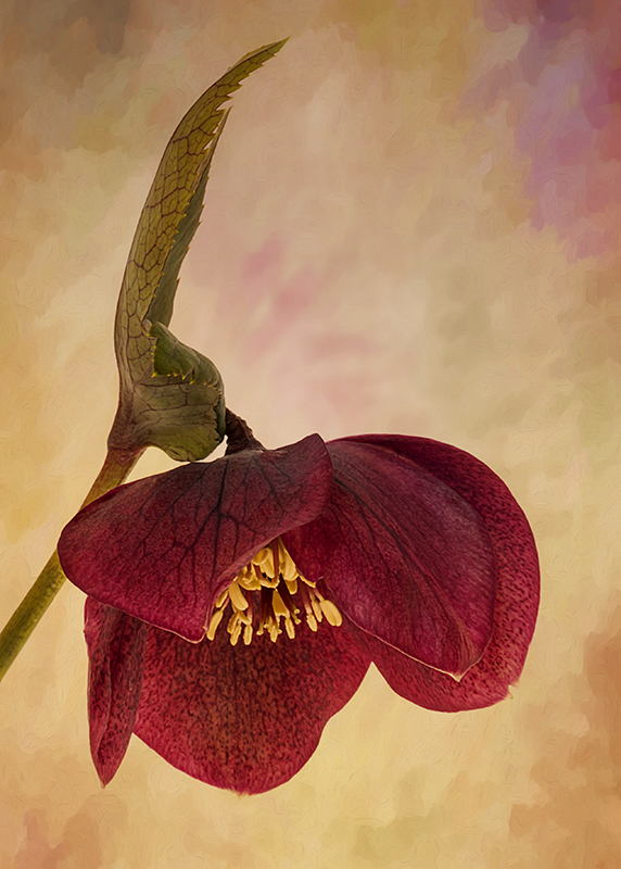 Hellebore with Texture
