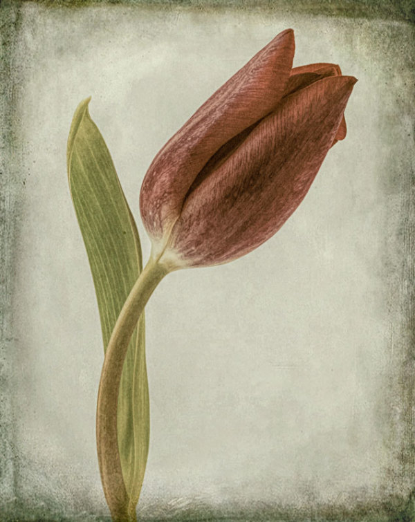 Same Tulip, Another View