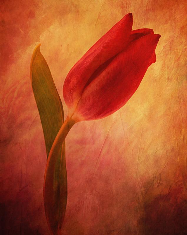Red Tulip-Dark