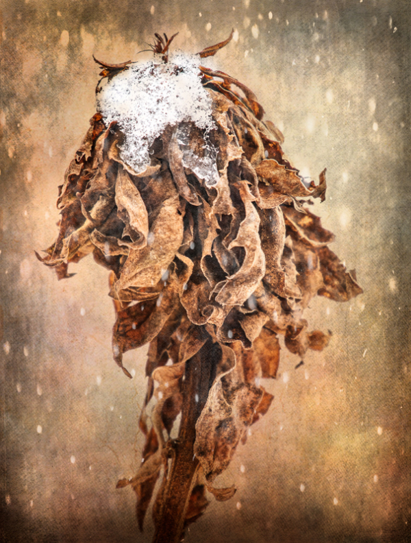 Dead Goldenrod with Snow