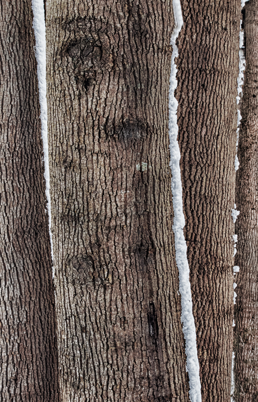 Tree trunks with snow
