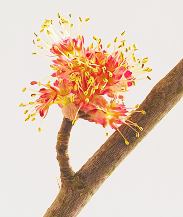 Maple Flower 1
