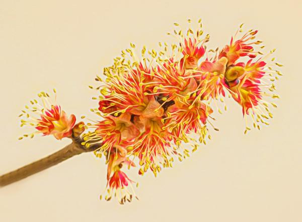 Maple Flower 2