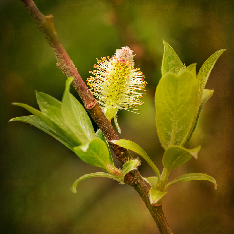 Pussy Willow Flower