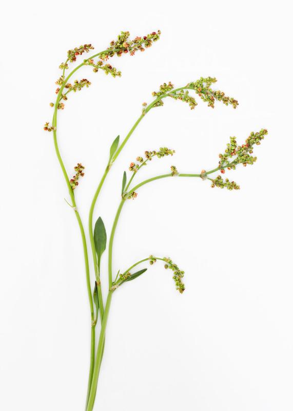 Little Grass Seadheads