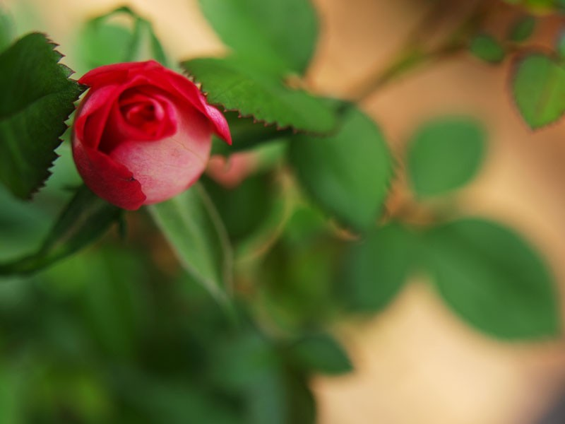 Flower Time!  -  Rose.