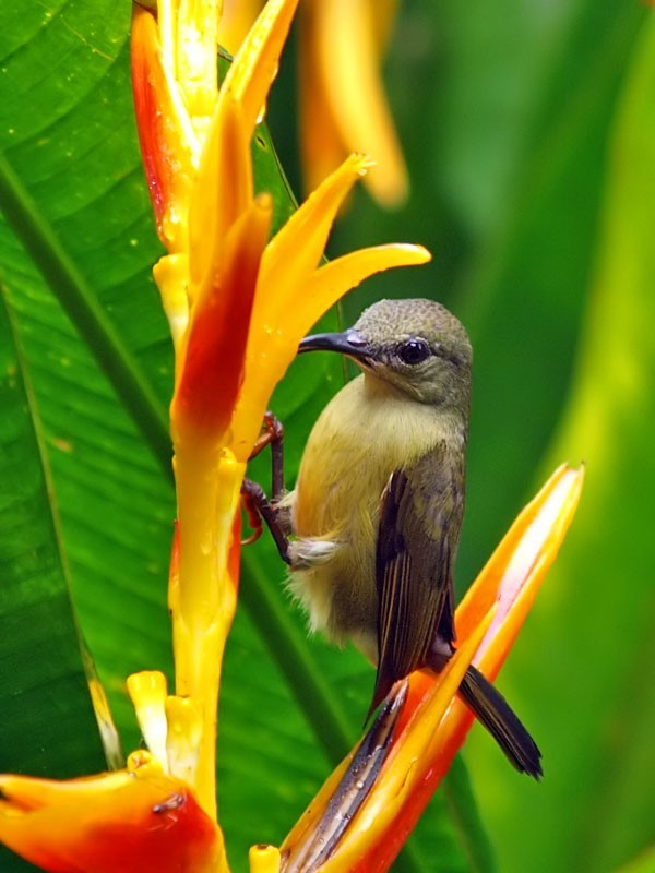 Brown-Throated Sunbird.