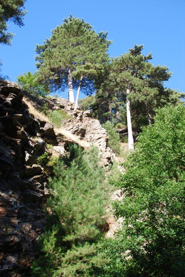 tree of Aspromonte (Italy)
