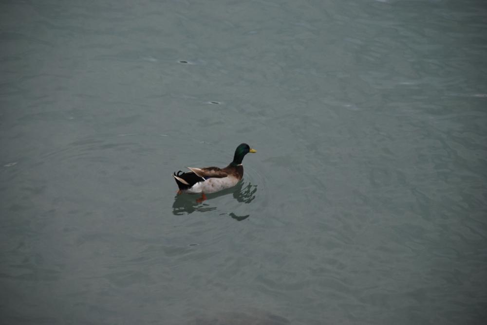 Sicilian duck