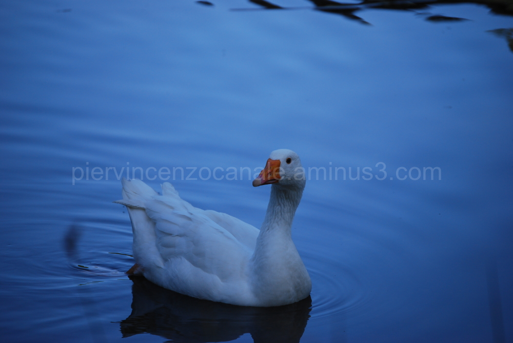 A view of a duck in a pond in the mountains