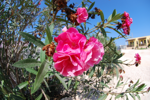 A view of a pink flower in Lampedusa.