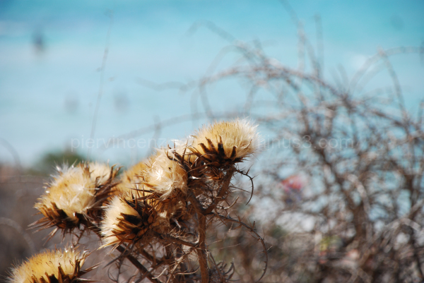 A view of a flower in Lampedusa, Sicily, Italy.