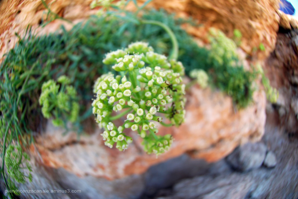 Green flower of Lampedusa as seen with a fisheye.