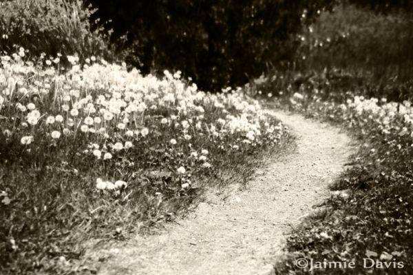 Dandelions along a path