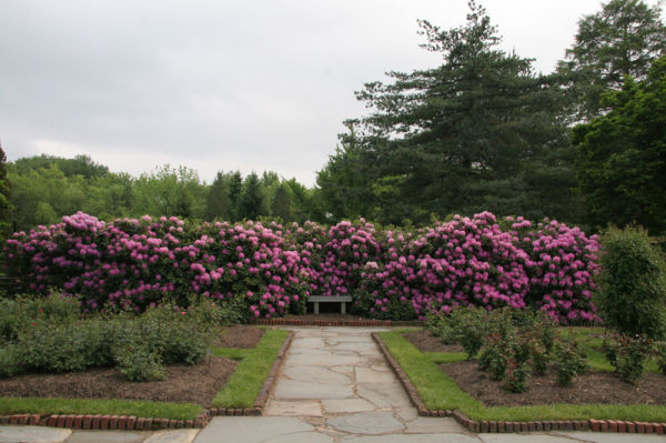 Wall of roses in an NJ rose garden