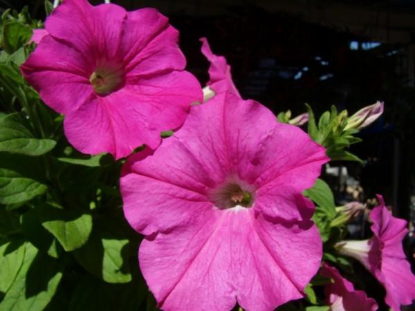 Da Lat ( Viet Nam)_Festival des fleurs 1