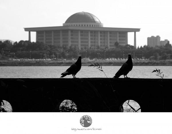 korea, seoul, pigeon