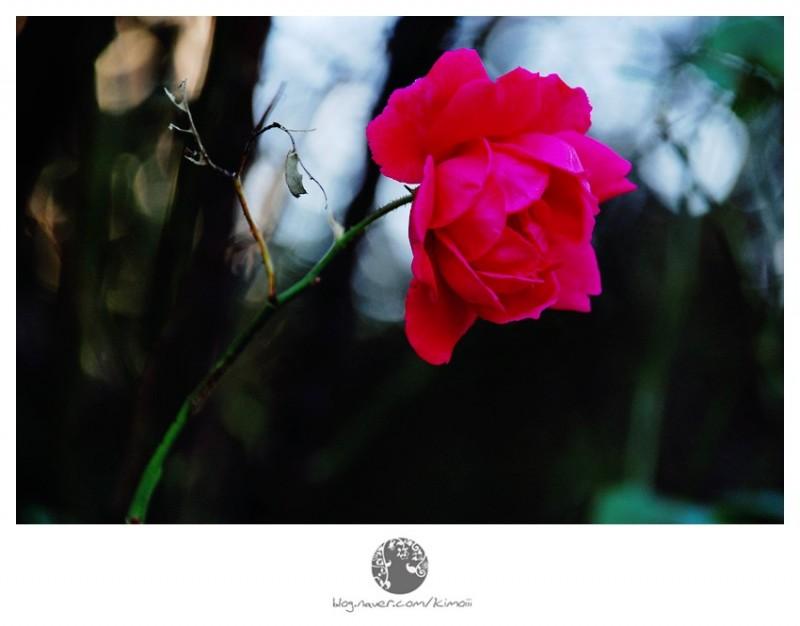 korea, seoul, rose
