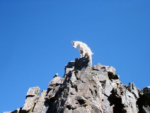 Goat @ Rockies