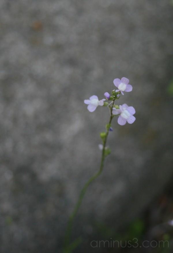 Pale Weed