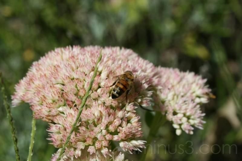 Bee on Sedum