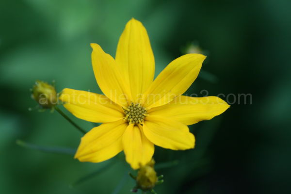 Coreopsis Bloom