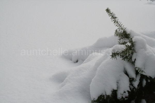 Snowy Evergreen Bush