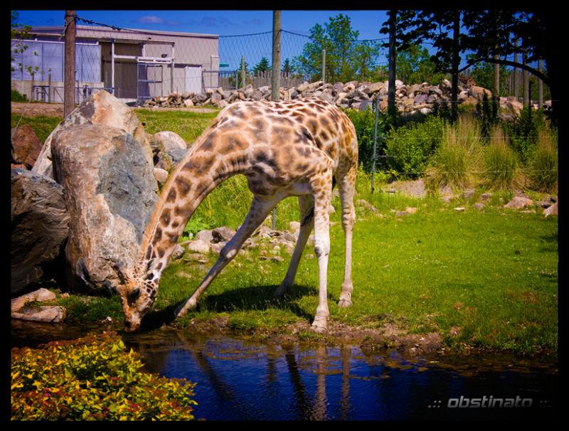 Giraf !