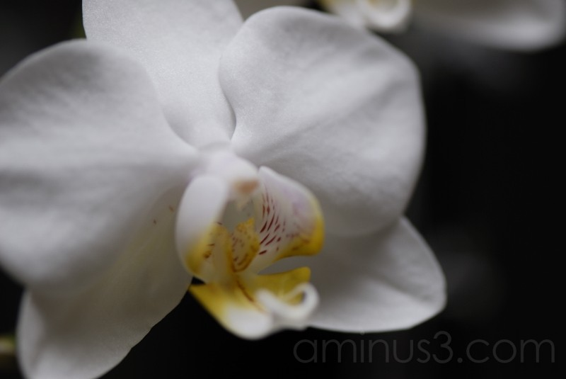 orchid iv