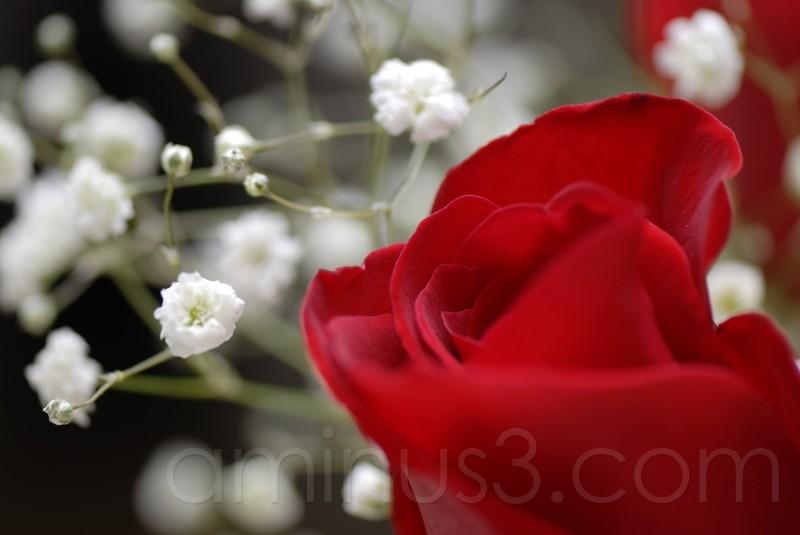 rose v