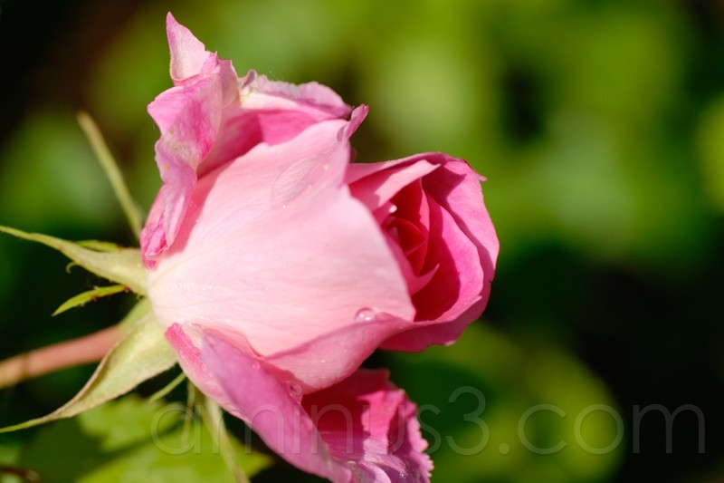 scenes from a rose bush, day 2