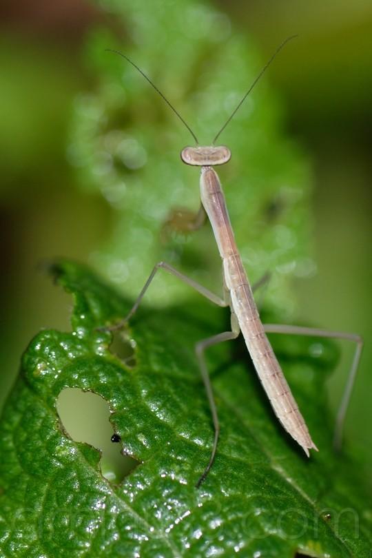 baby mantis ii